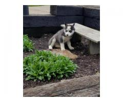 Available healthy  Siberian husky puppies
