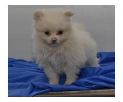well socialized Pomeranian puppies