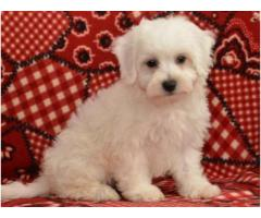 cuddly and super soft Bichon Frise puppies