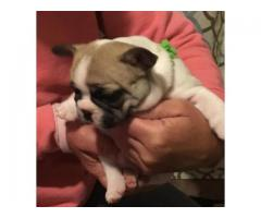 top quality fawn tri  pied French Bulldog puppy!!!!