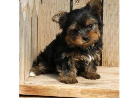 well socialized and family raised yorkshire terrier puppies