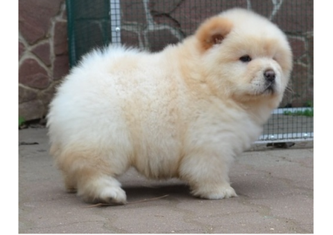 Pomsky Chow Chow Puppies