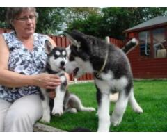 Cute and Adorable siberian husky Puppies forsale