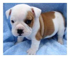 KC REGISTERED HOME TRAINED ENGLISH BULL DOG PUPPIES