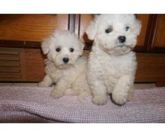 bound  and Female bichon frise  puppies for Re-Homing for sale