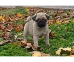Two Top Class pug  Puppies Available